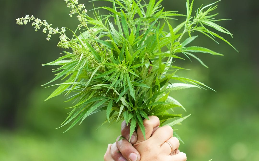 Cannabis aus Sicht der TCM
