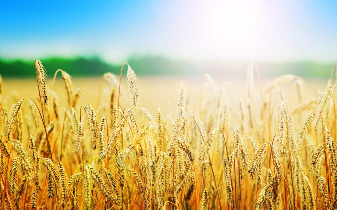 Getreide in der TCM
