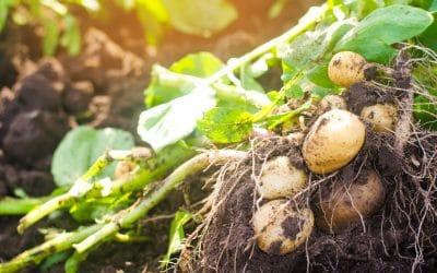 Kartoffel in der TCM